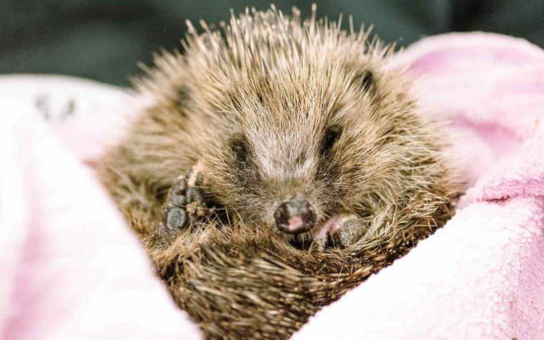 A day in the life of Wirral Animal Sanctuary's Hedgehog Centre